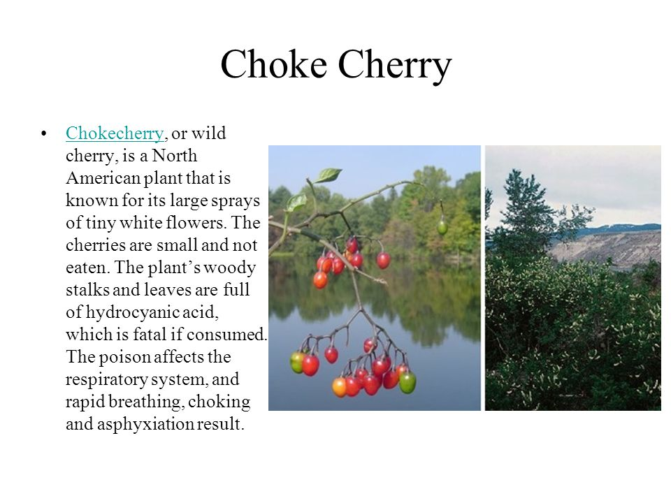 Choke Cherry Chokecherry, or wild cherry, is a North American plant that is known for its large sprays of tiny white flowers. The cherries are small a