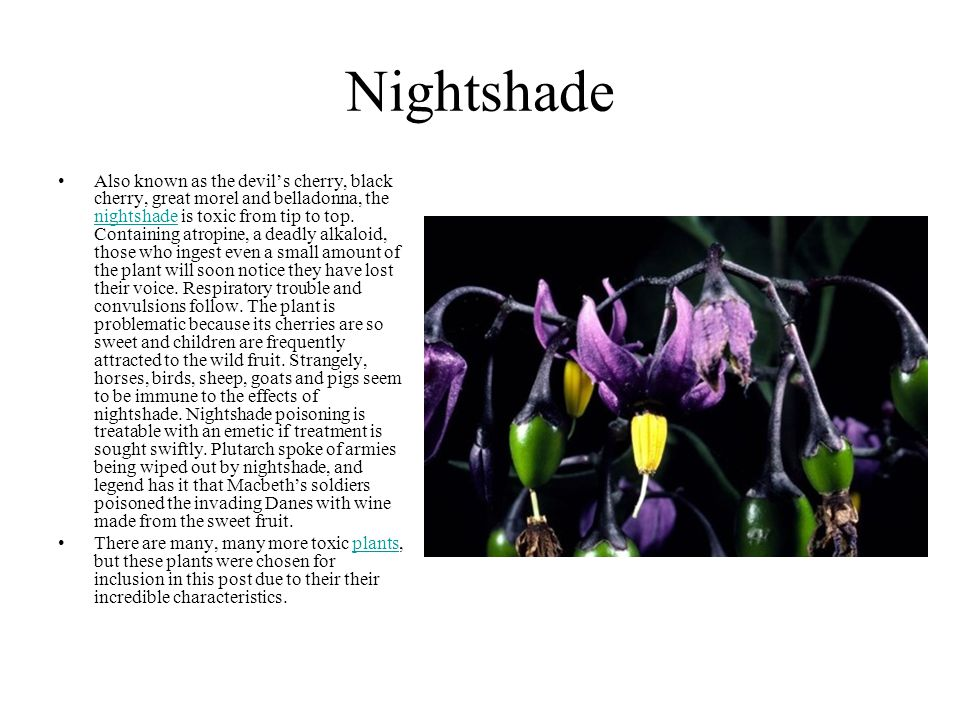 Nightshade Also known as the devil's cherry, black cherry, great morel and belladonna, the nightshade is toxic from tip to top. Containing atropine, a