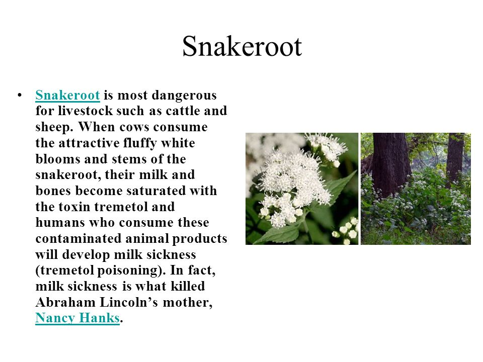 Snakeroot Snakeroot is most dangerous for livestock such as cattle and sheep. When cows consume the attractive fluffy white blooms and stems of the sn