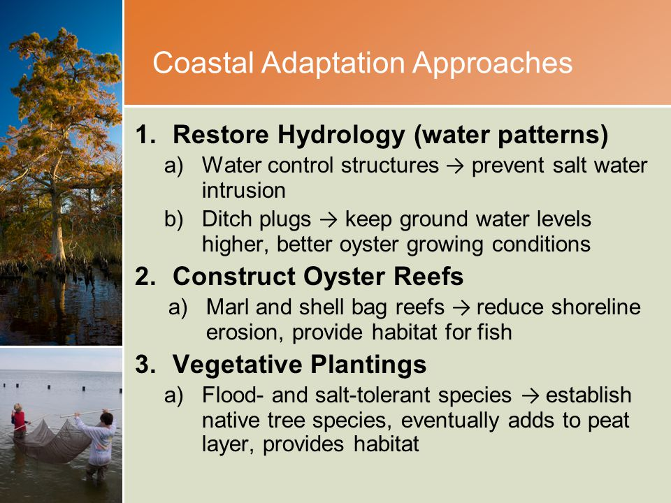 Coastal Adaptation Approaches 1.Restore Hydrology (water patterns) a)Water control structures → prevent salt water intrusion b)Ditch plugs → keep ground water levels higher, better oyster growing conditions 2.Construct Oyster Reefs a)Marl and shell bag reefs → reduce shoreline erosion, provide habitat for fish 3.Vegetative Plantings a)Flood- and salt-tolerant species → establish native tree species, eventually adds to peat layer, provides habitat