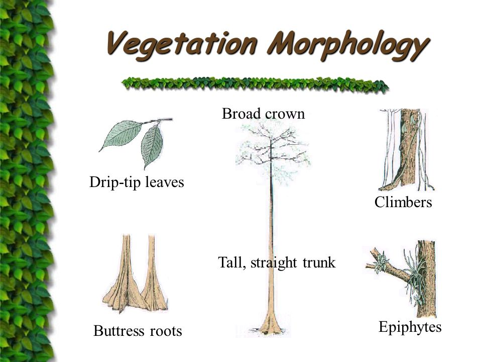 Vegetation Layers  Emergent layer very tall tree few in number  Canopy layer a continuous cover  Middle layer younger trees  Shrub layer and undergrowth little growth because of shade