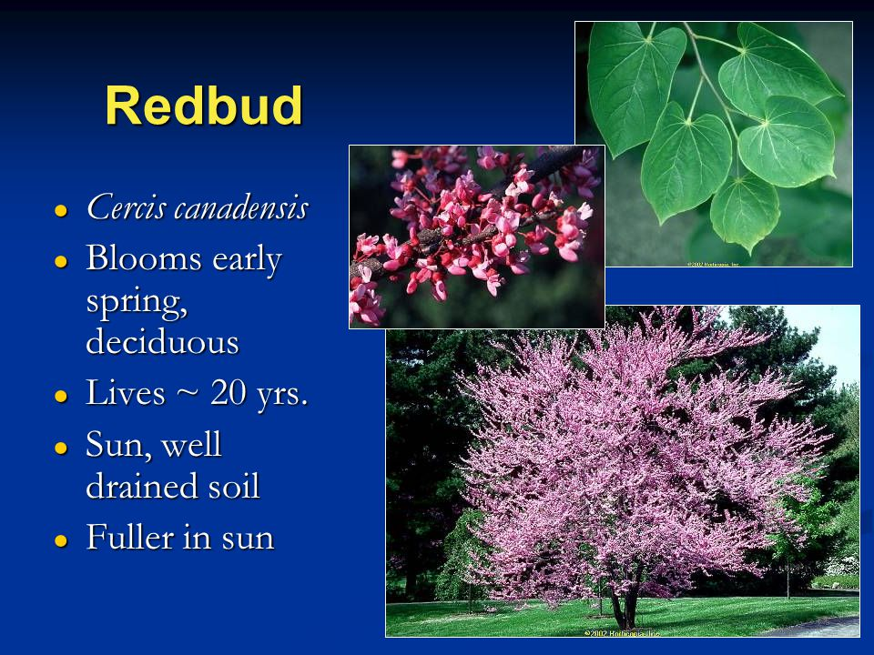 Redbud ● Cercis canadensis ● Blooms early spring, deciduous ● Lives ~ 20 yrs.
