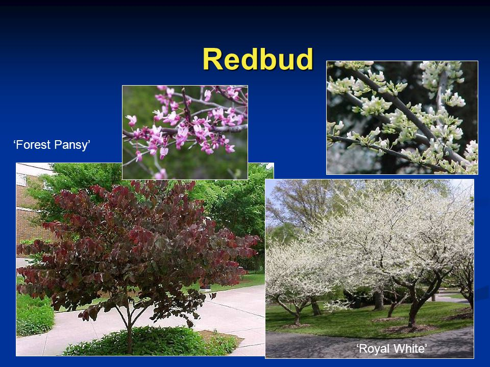 Redbud 'Forest Pansy' 'Royal White'