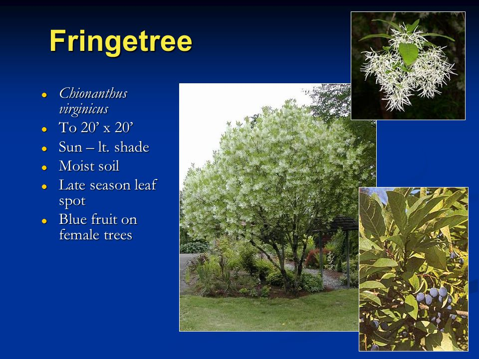 Fringetree ● Chionanthus virginicus ● To 20' x 20' ● Sun – lt. shade ● Moist soil ● Late season leaf spot ● Blue fruit on female trees