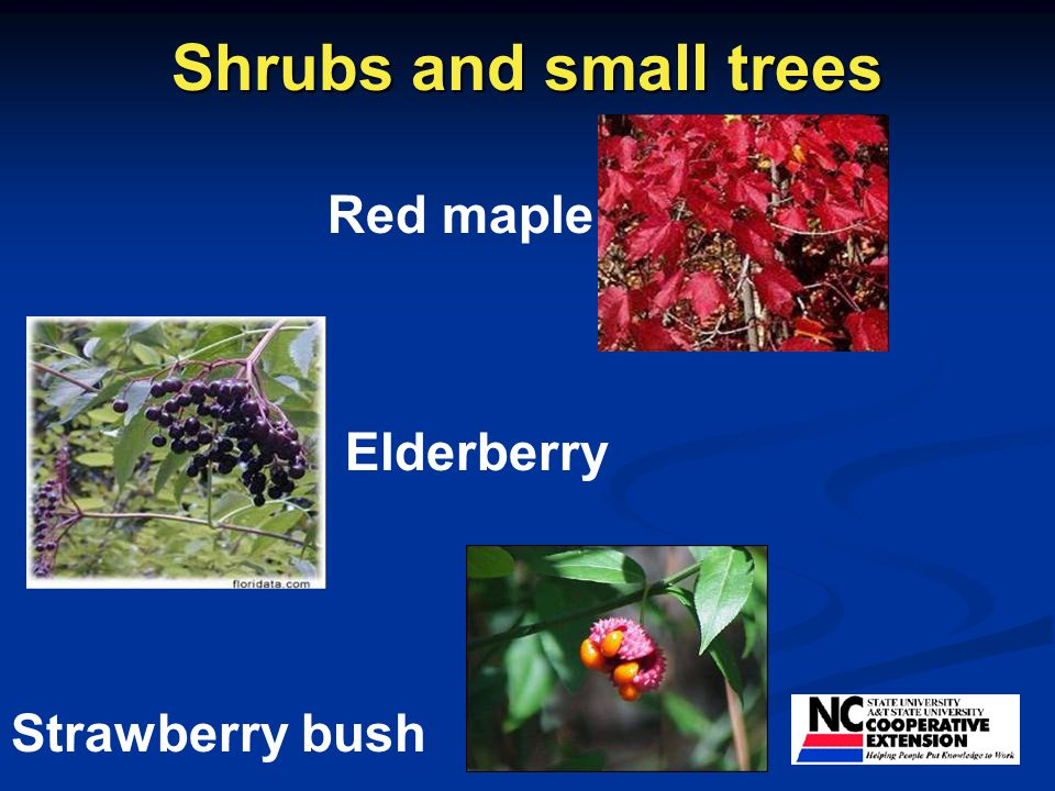 Shrubs and small trees Red maple Elderberry Strawberry bush