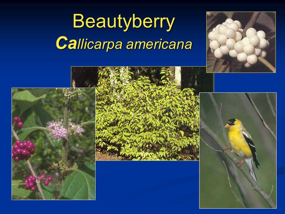 Beautyberry Ca llicarpa americana
