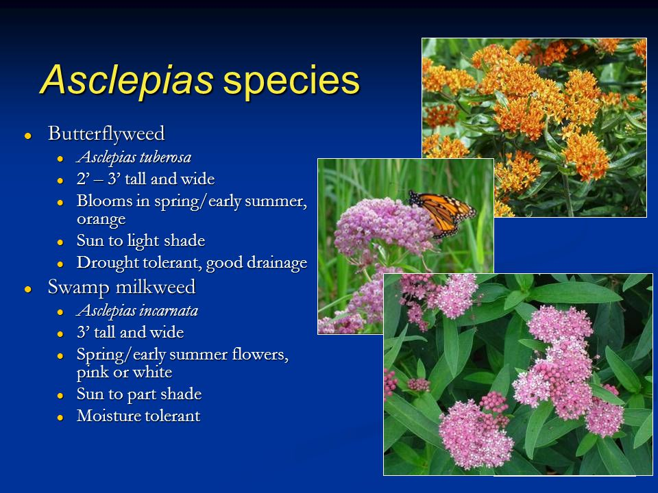 Asclepias species ● Butterflyweed ● Asclepias tuberosa ● 2' – 3' tall and wide ● Blooms in spring/early summer, orange ● Sun to light shade ● Drought tolerant, good drainage ● Swamp milkweed ● Asclepias incarnata ● 3' tall and wide ● Spring/early summer flowers, pink or white ● Sun to part shade ● Moisture tolerant