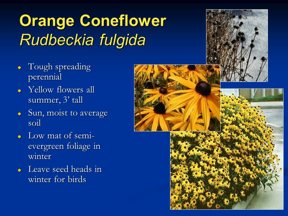 Orange Coneflower Rudbeckia fulgida ● Tough spreading perennial ● Yellow flowers all summer, 3' tall ● Sun, moist to average soil ● Low mat of semi- evergreen foliage in winter ● Leave seed heads in winter for birds