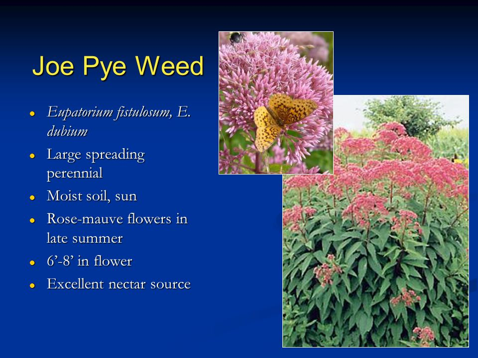 Joe Pye Weed ● Eupatorium fistulosum, E. dubium ● Large spreading perennial ● Moist soil, sun ● Rose-mauve flowers in late summer ● 6'-8' in flower ●