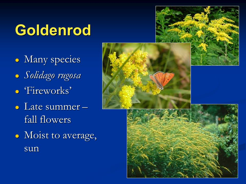 Goldenrod ● Many species ● Solidago rugosa ● 'Fireworks' ● Late summer – fall flowers ● Moist to average, sun