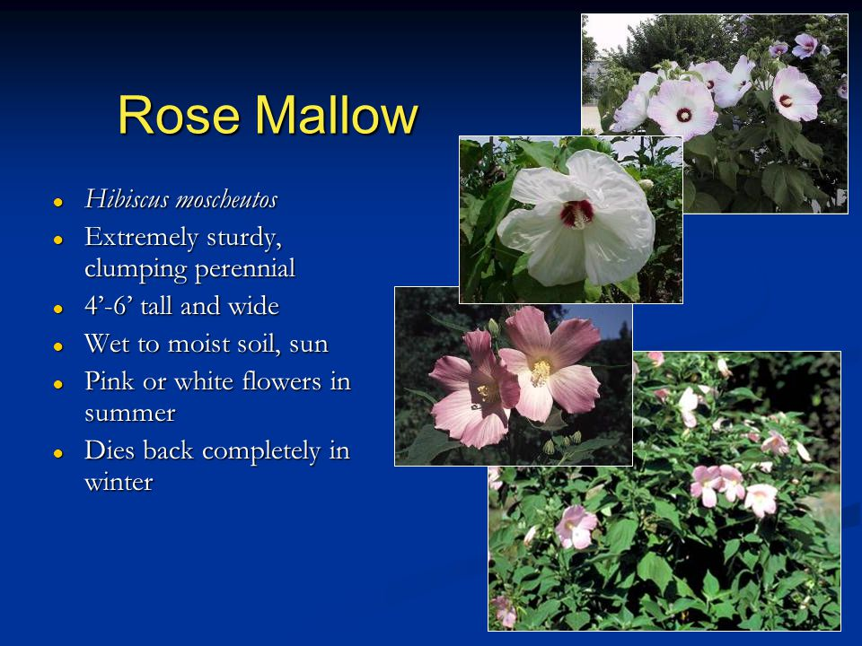 Rose Mallow ● Hibiscus moscheutos ● Extremely sturdy, clumping perennial ● 4'-6' tall and wide ● Wet to moist soil, sun ● Pink or white flowers in summer ● Dies back completely in winter