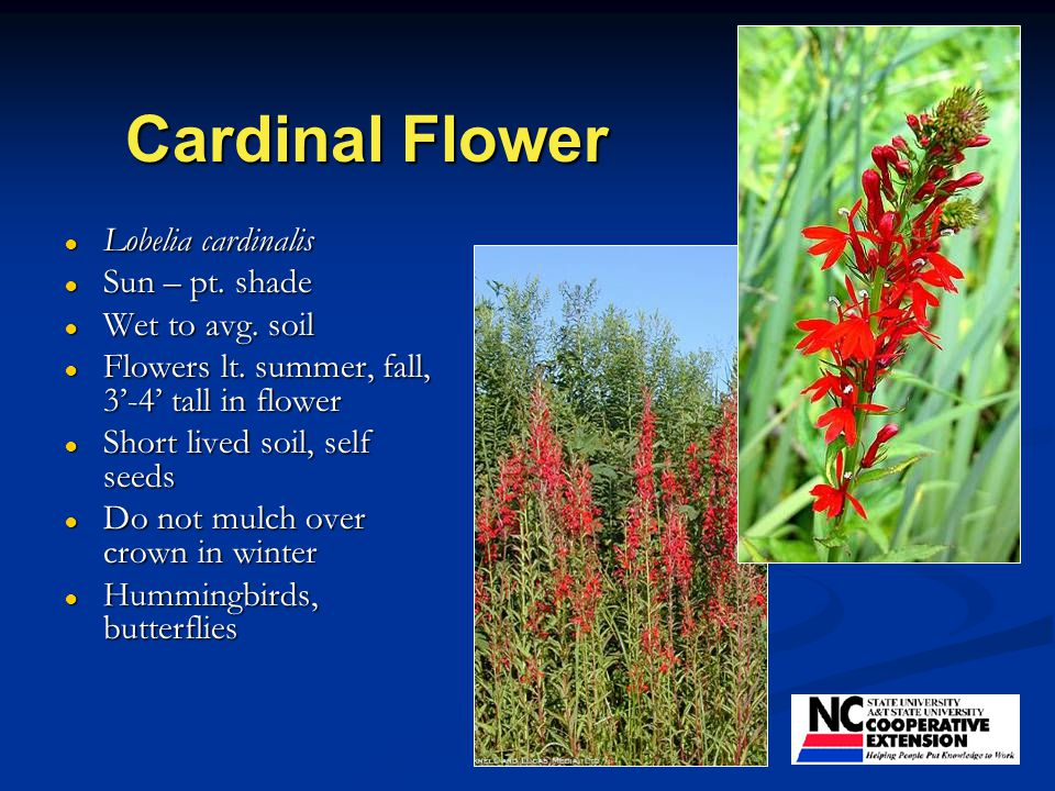 Cardinal Flower ● Lobelia cardinalis ● Sun – pt. shade ● Wet to avg.