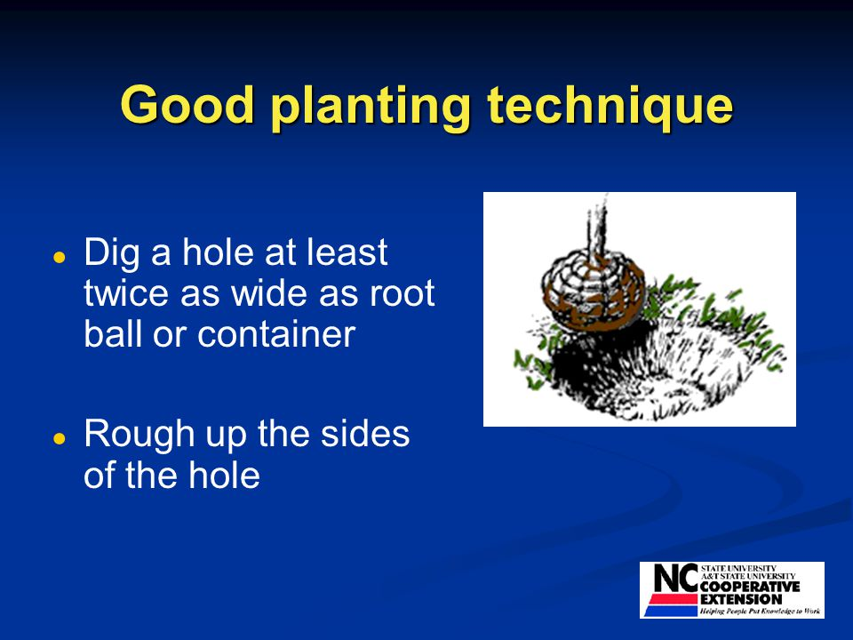 Good planting technique ● ● Dig a hole at least twice as wide as root ball or container ● ● Rough up the sides of the hole