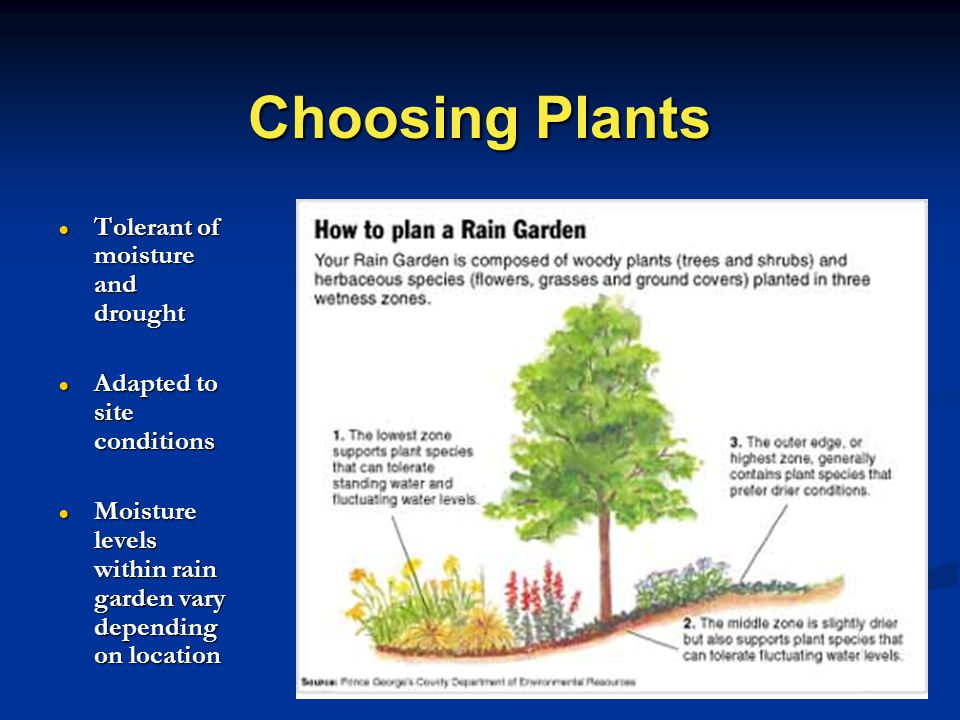 Choosing Plants ● Tolerant of moisture and drought ● Adapted to site conditions ● Moisture levels within rain garden vary depending on location