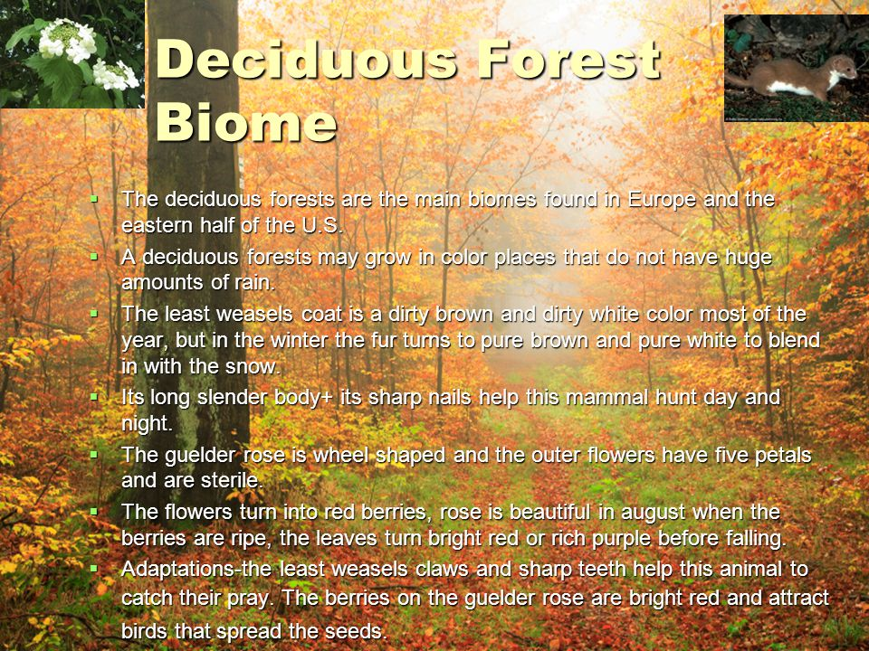 Deciduous Forest Biome  The deciduous forests are the main biomes found in Europe and the eastern half of the U.S.