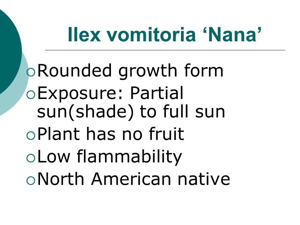 Ilex vomitoria 'Nana'  Common name:  Dwarf Yaupon Holly  Evergreen shrub  Height: 4'-6'  Spread: 6'-10'  Slow growth rate