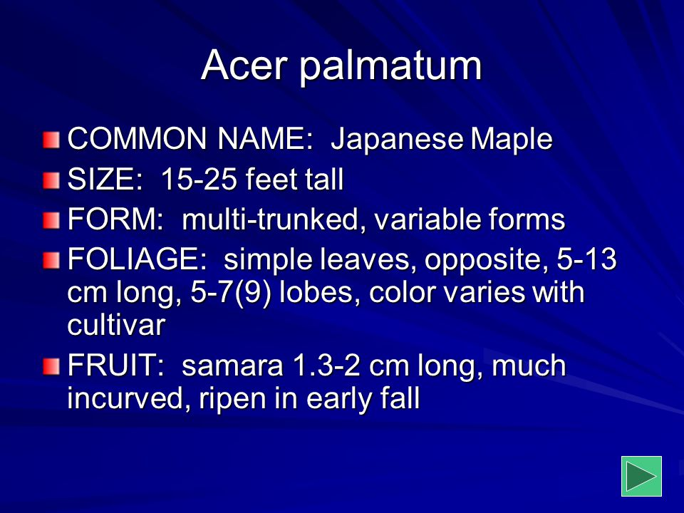 Acer palmatum COMMON NAME: Japanese Maple SIZE: 15-25 feet tall FORM: multi-trunked, variable forms FOLIAGE: simple leaves, opposite, 5-13 cm long, 5-