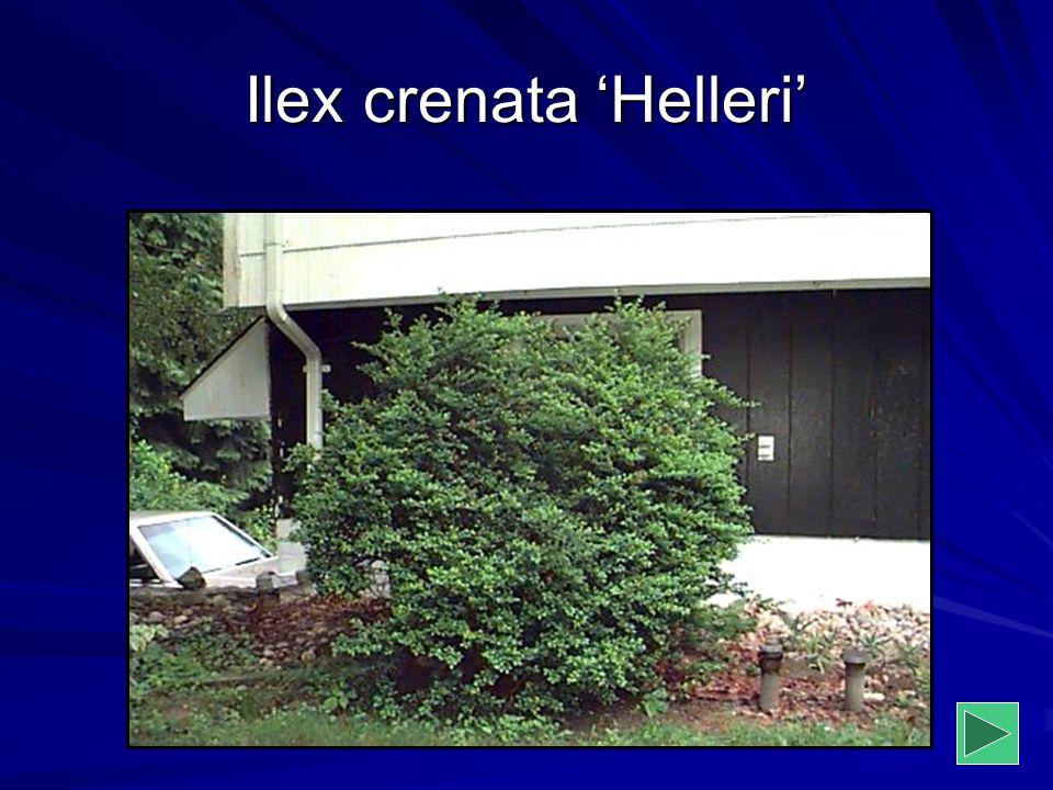 Ilex crenata 'Helleri'