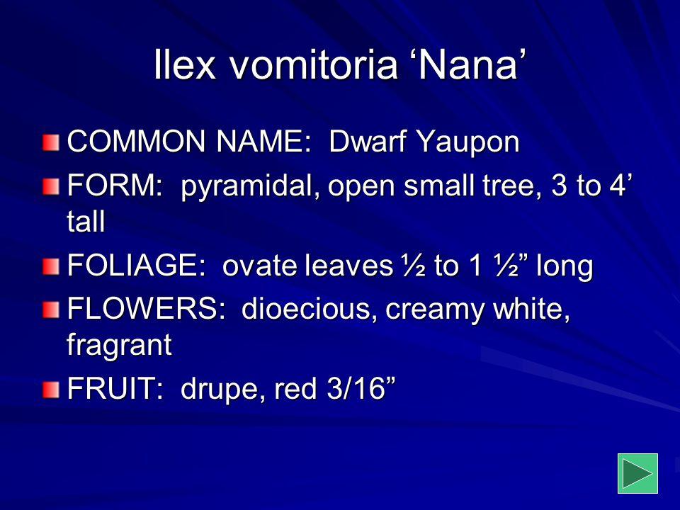 "Ilex vomitoria 'Nana' COMMON NAME: Dwarf Yaupon FORM: pyramidal, open small tree, 3 to 4' tall FOLIAGE: ovate leaves ½ to 1 ½"" long FLOWERS: dioecious"