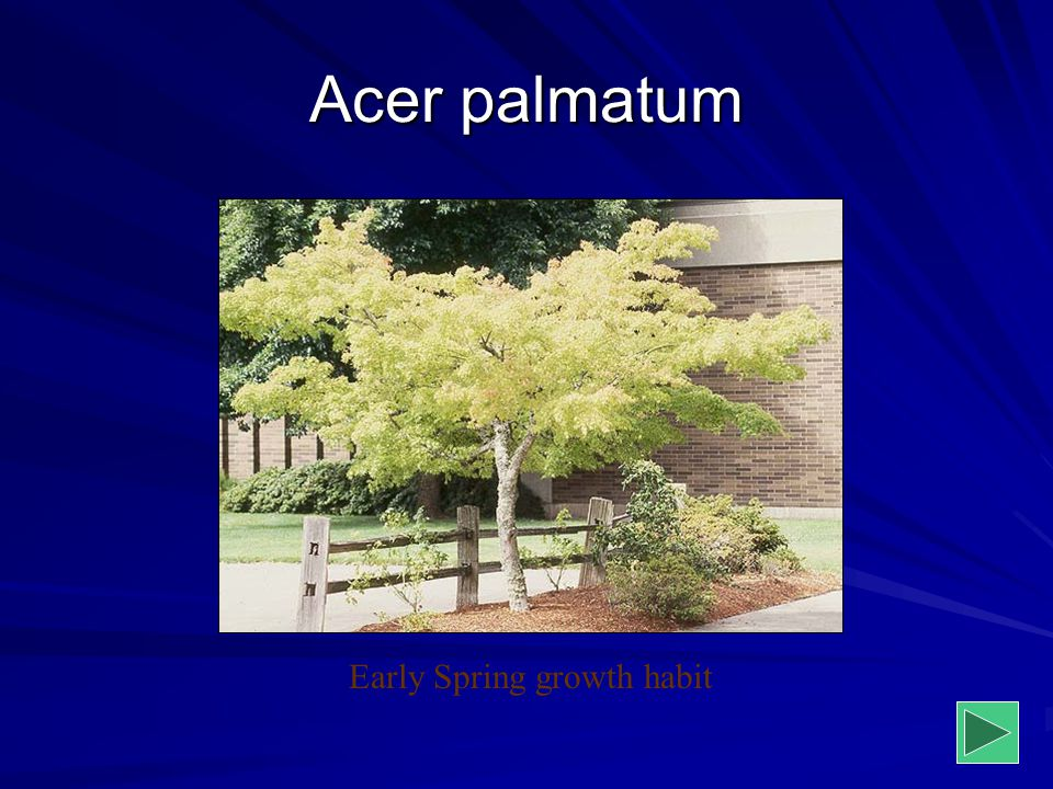 Acer palmatum Early Spring growth habit