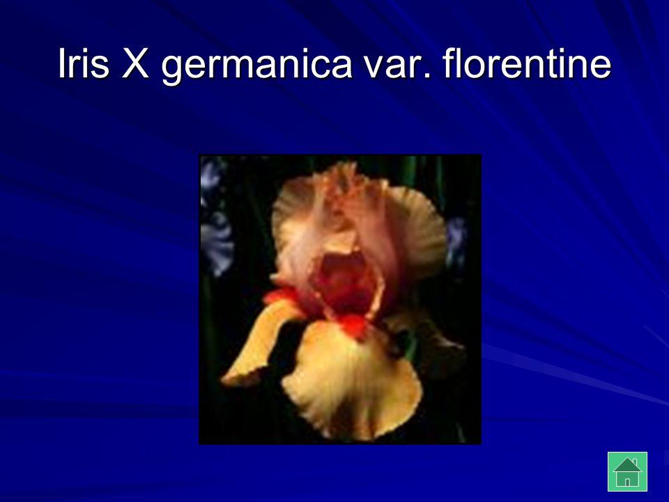 Iris X germanica var. florentine