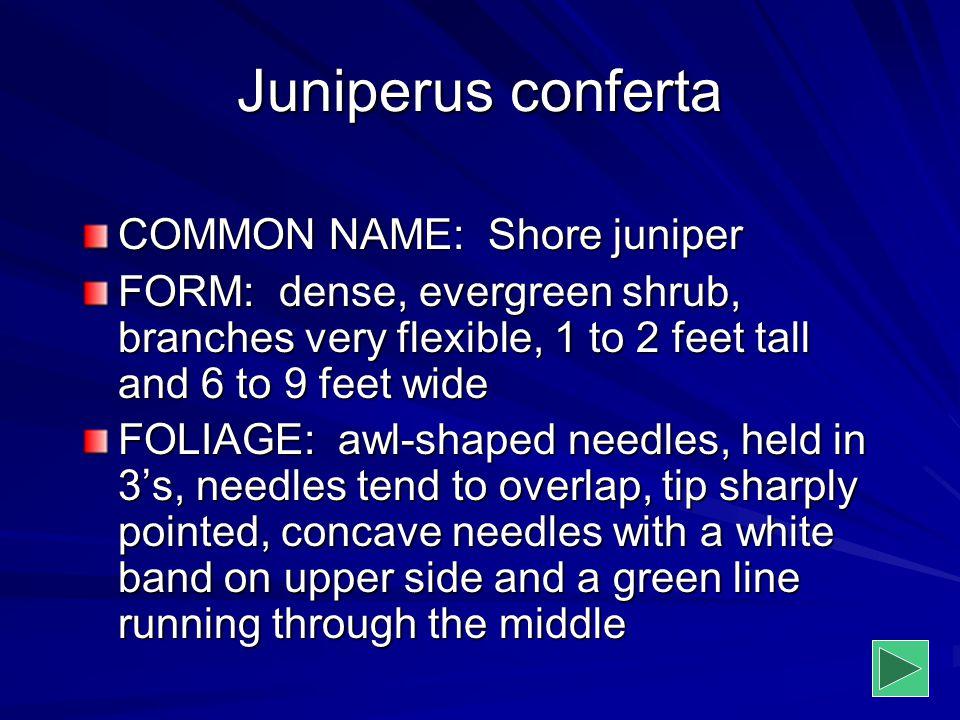 Juniperus conferta COMMON NAME: Shore juniper FORM: dense, evergreen shrub, branches very flexible, 1 to 2 feet tall and 6 to 9 feet wide FOLIAGE: awl