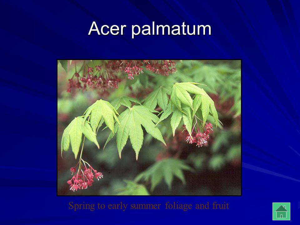 Acer palmatum Spring to early summer foliage and fruit