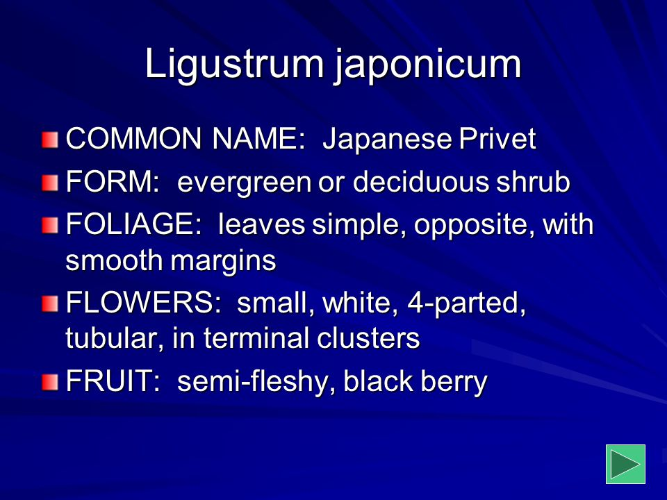 Ligustrum japonicum COMMON NAME: Japanese Privet FORM: evergreen or deciduous shrub FOLIAGE: leaves simple, opposite, with smooth margins FLOWERS: sma