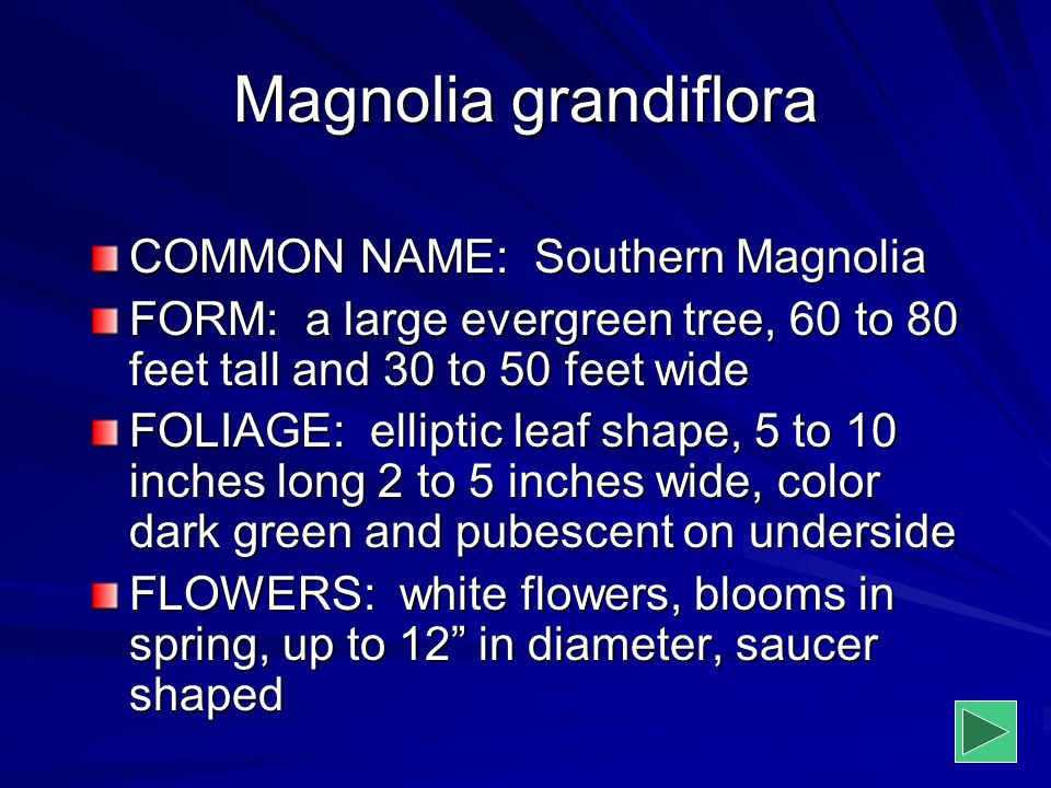 Magnolia grandiflora COMMON NAME: Southern Magnolia FORM: a large evergreen tree, 60 to 80 feet tall and 30 to 50 feet wide FOLIAGE: elliptic leaf sha