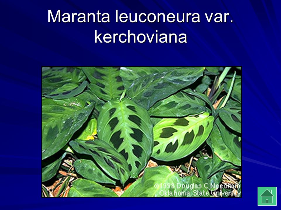 Maranta leuconeura var. kerchoviana