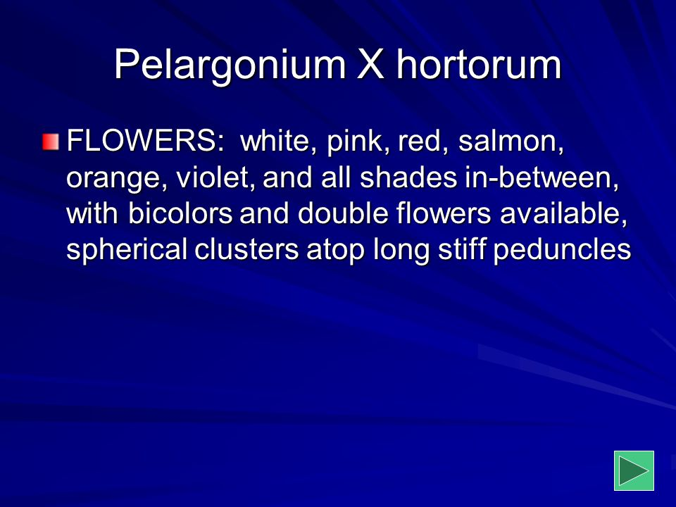 Pelargonium X hortorum FLOWERS: white, pink, red, salmon, orange, violet, and all shades in-between, with bicolors and double flowers available, spher