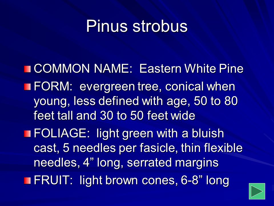 Pinus strobus COMMON NAME: Eastern White Pine FORM: evergreen tree, conical when young, less defined with age, 50 to 80 feet tall and 30 to 50 feet wi