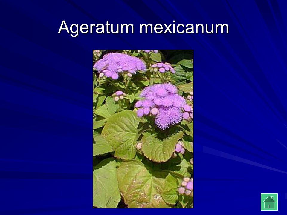 Ageratum mexicanum