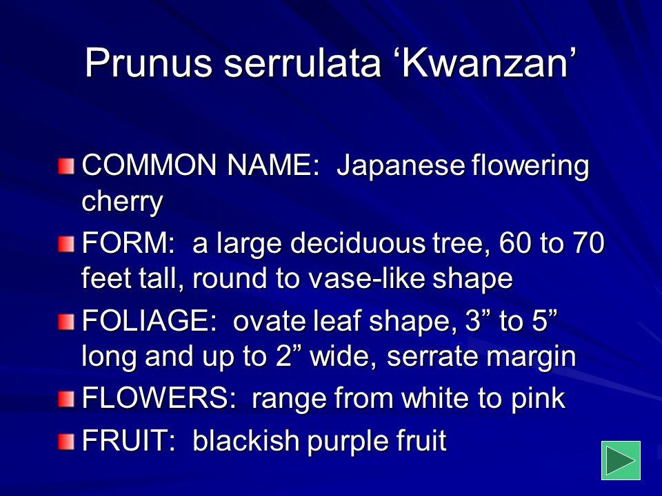 Prunus serrulata 'Kwanzan' COMMON NAME: Japanese flowering cherry FORM: a large deciduous tree, 60 to 70 feet tall, round to vase-like shape FOLIAGE: