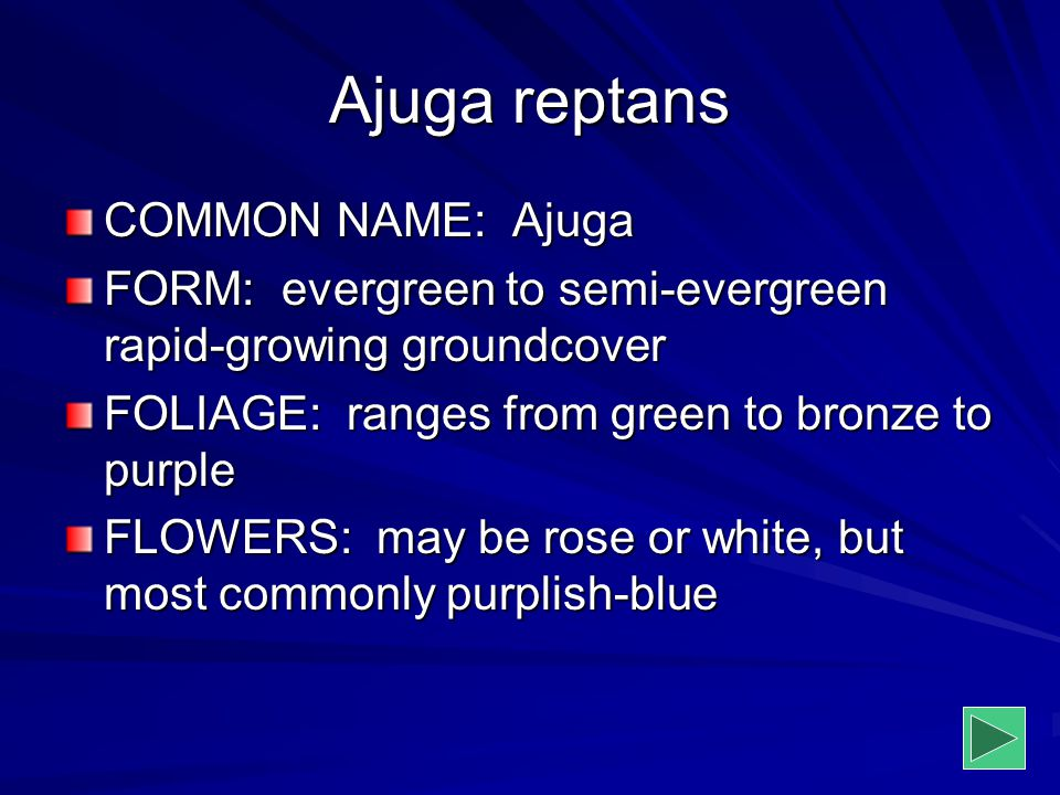 Ajuga reptans COMMON NAME: Ajuga FORM: evergreen to semi-evergreen rapid-growing groundcover FOLIAGE: ranges from green to bronze to purple FLOWERS: m