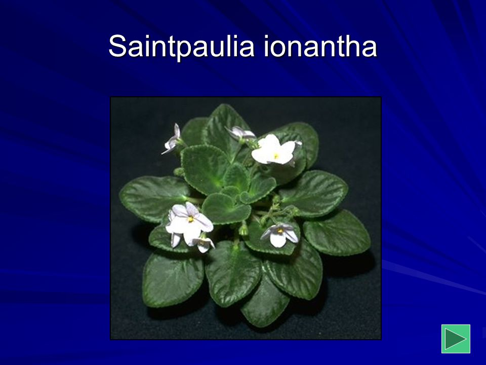 Saintpaulia ionantha