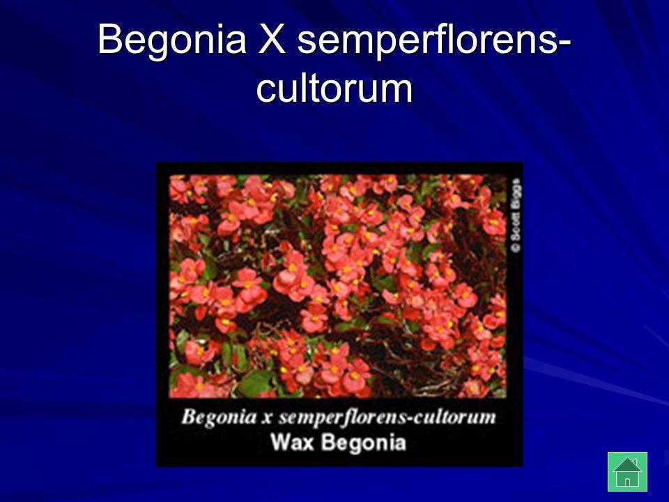 Begonia X semperflorens- cultorum