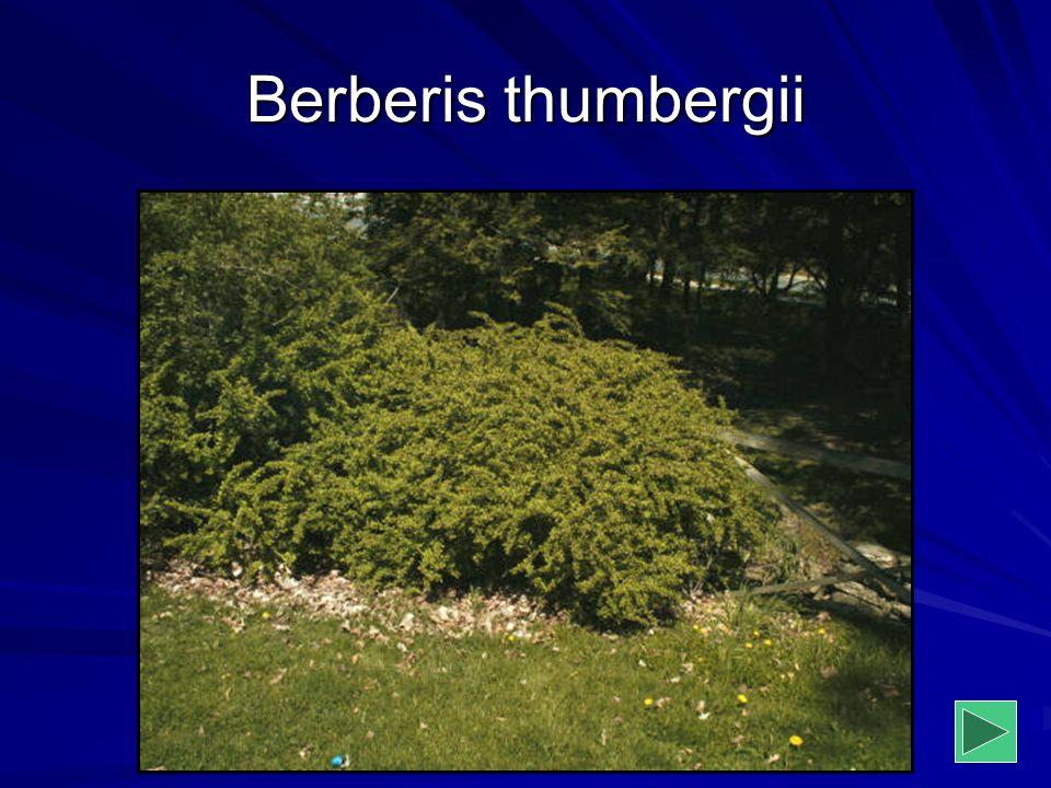 Berberis thumbergii