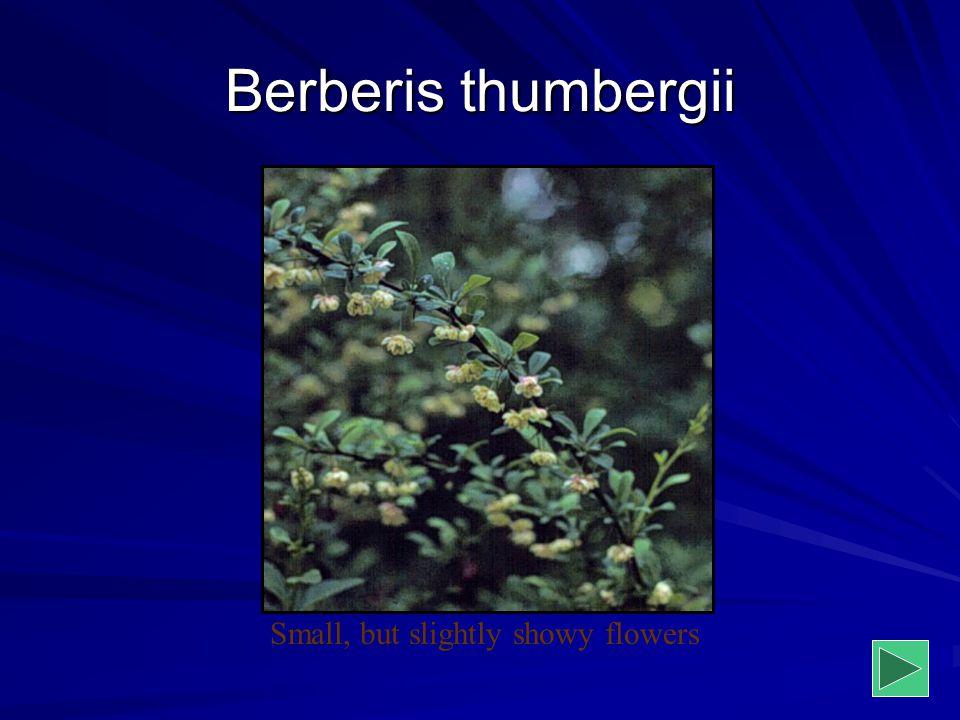 Berberis thumbergii Small, but slightly showy flowers