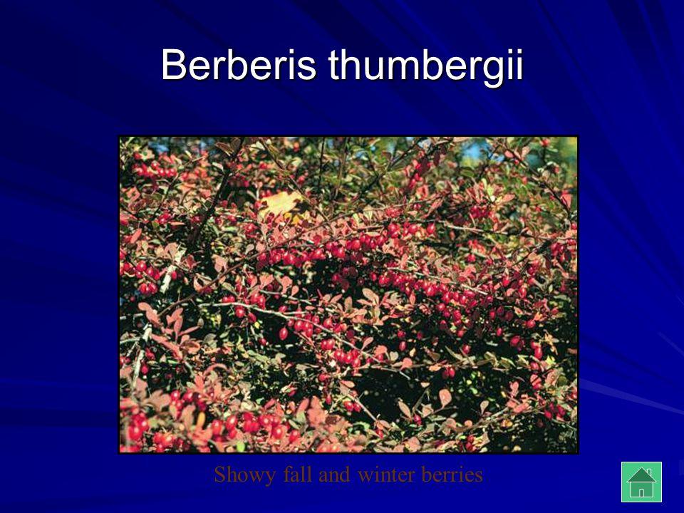Berberis thumbergii Showy fall and winter berries
