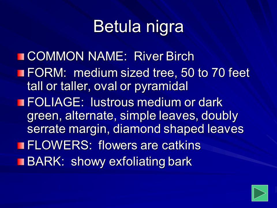 Betula nigra COMMON NAME: River Birch FORM: medium sized tree, 50 to 70 feet tall or taller, oval or pyramidal FOLIAGE: lustrous medium or dark green,