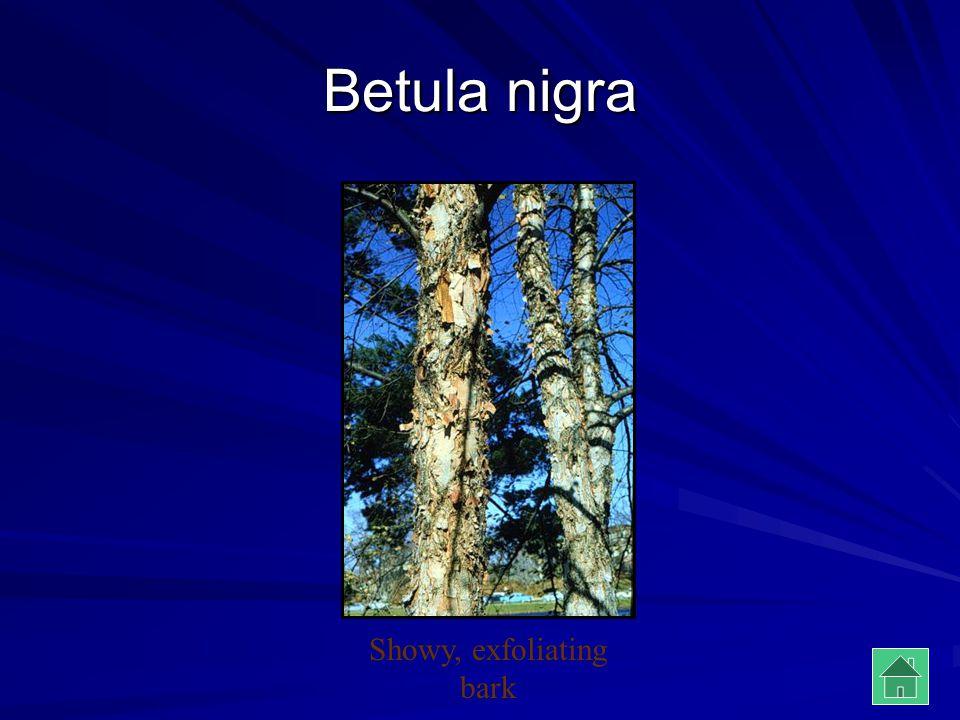 Betula nigra Showy, exfoliating bark