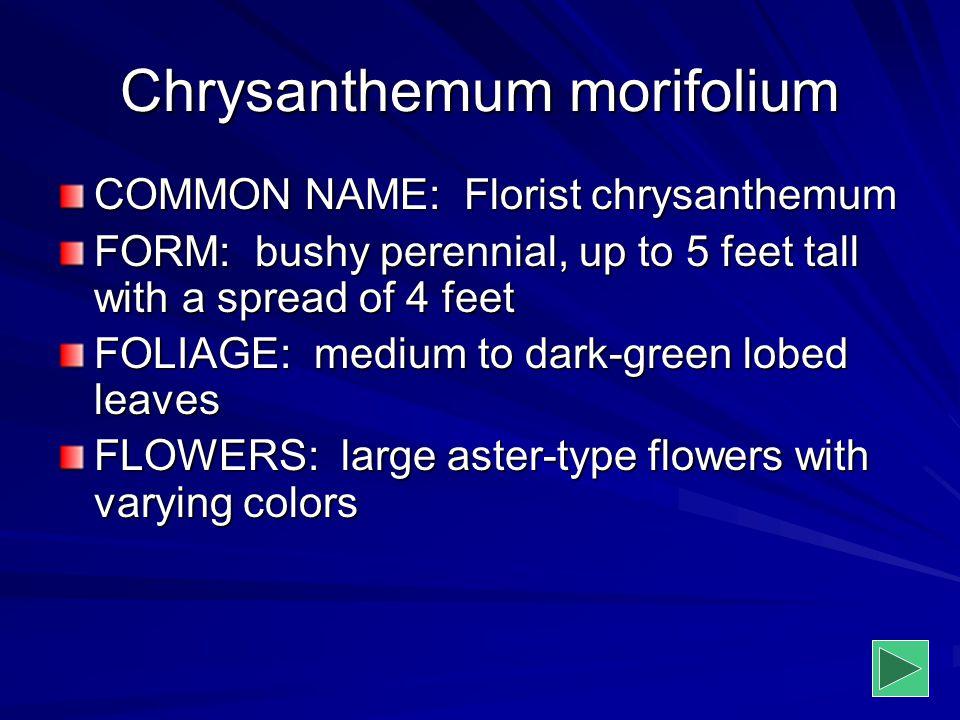 Chrysanthemum morifolium COMMON NAME: Florist chrysanthemum FORM: bushy perennial, up to 5 feet tall with a spread of 4 feet FOLIAGE: medium to dark-g