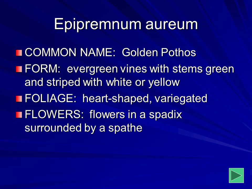 Epipremnum aureum COMMON NAME: Golden Pothos FORM: evergreen vines with stems green and striped with white or yellow FOLIAGE: heart-shaped, variegated