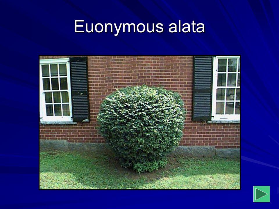 Euonymous alata