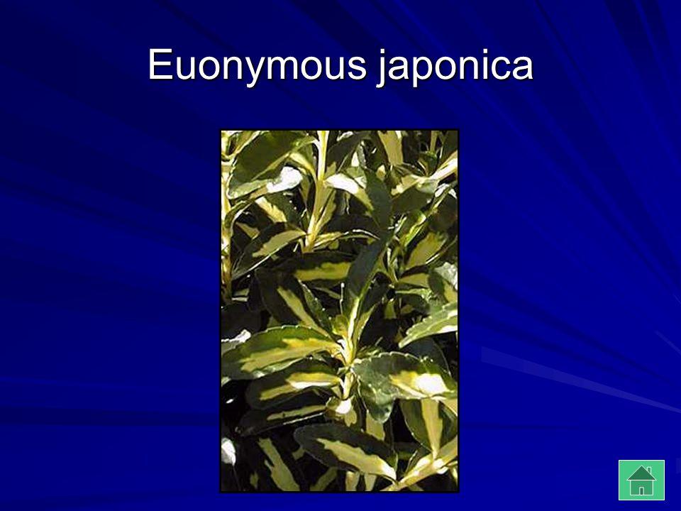 Euonymous japonica