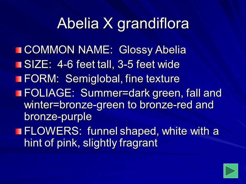 Abelia X grandiflora COMMON NAME: Glossy Abelia SIZE: 4-6 feet tall, 3-5 feet wide FORM: Semiglobal, fine texture FOLIAGE: Summer=dark green, fall and