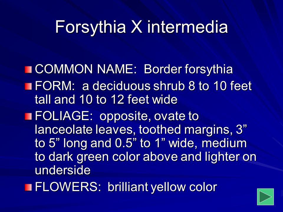 Forsythia X intermedia COMMON NAME: Border forsythia FORM: a deciduous shrub 8 to 10 feet tall and 10 to 12 feet wide FOLIAGE: opposite, ovate to lanc