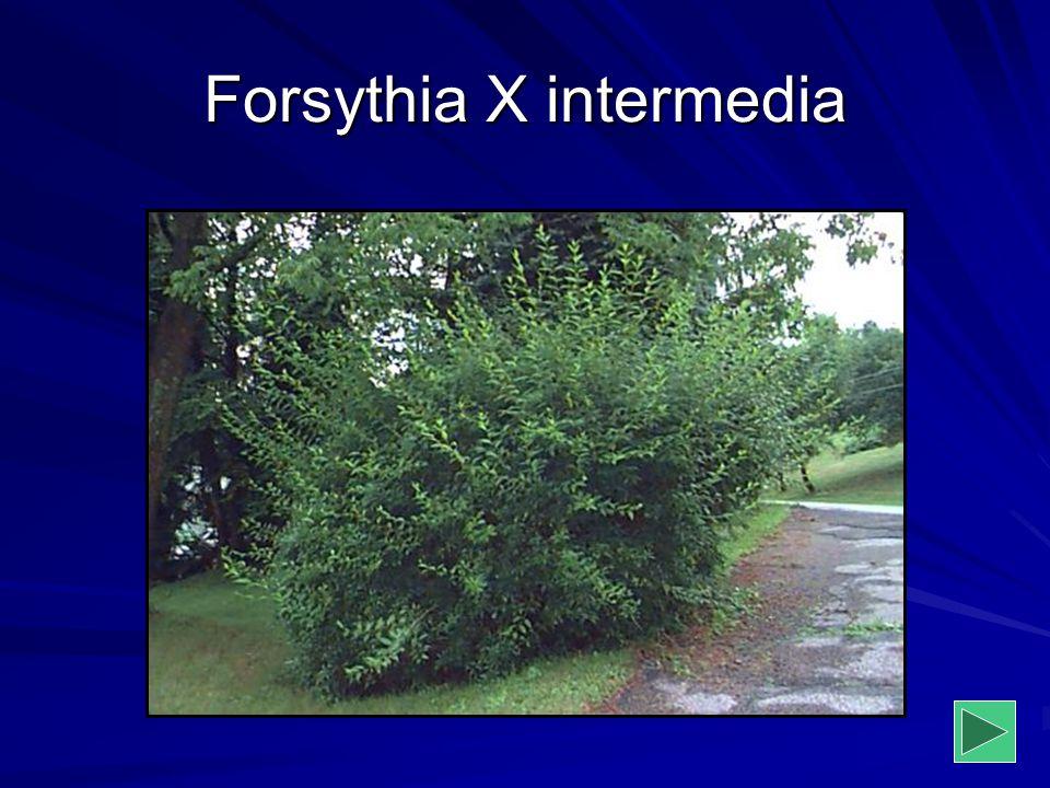 Forsythia X intermedia