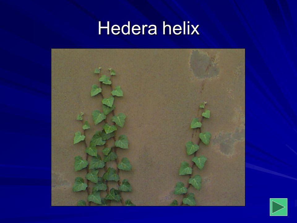 Hedera helix